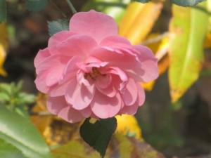 Beauty of Simplicity Rose